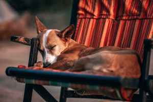adult tan and white basenji sleeping on chair