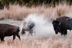 buffalo on grass field